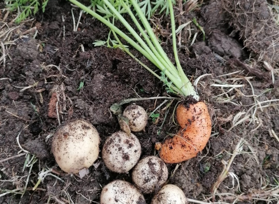 Carrots and potatoes (Large)